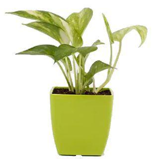 Buy Money Plants Online: Start at Rs.299